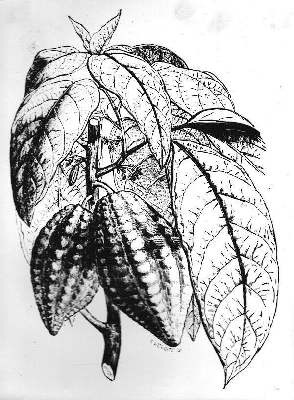 Kakaófa és termése, könyvillusztráció (1931) - Magyar Kereskedelmi és Vendéglátóipari Múzeum, CC BY-NC-ND