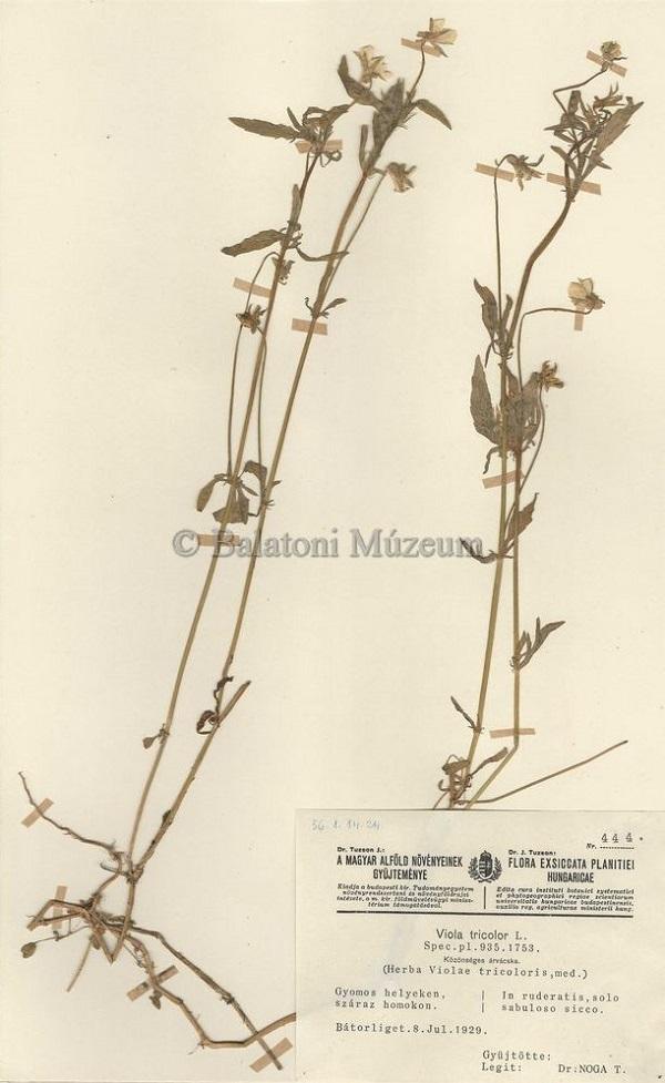 Közönséges árvácska, herbáriumi lap (1929) - Balatoni Múzeum, CC BY-NC-ND