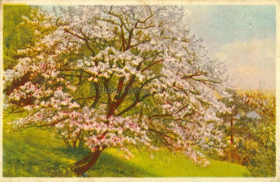 Virágzó cseresznyefa, képeslap (1944) - Thúry György Múzeum, CC BY-NC-ND