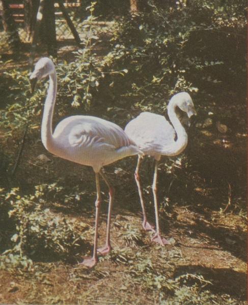 Chilei Flamingó - Tóth Tibor Endre, PDM