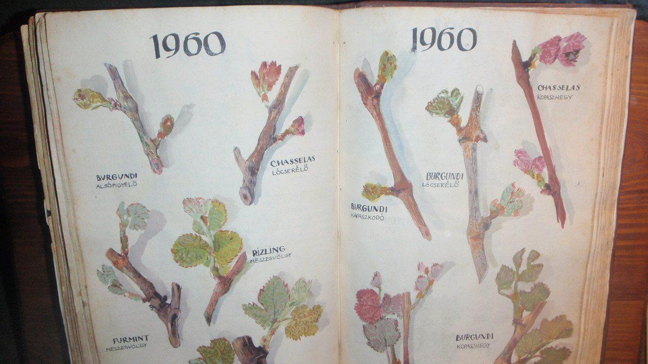 279 éve rajzolnak a Szőlő Jövésnek Könyvébe
