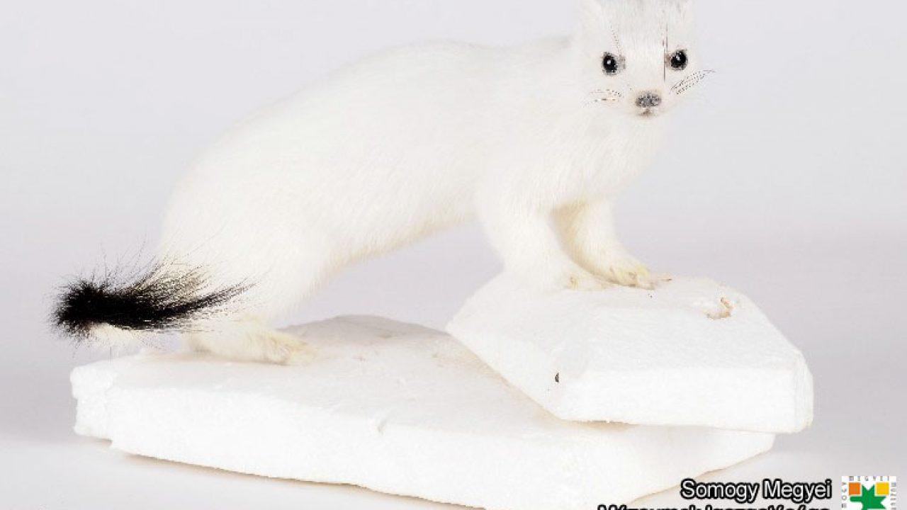 A hermelin megjelenése mára lassan a fehér holló ritkaságával vetekszik
